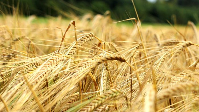 Is Barley a Gluten-Free Food?