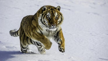 What Are Some Facts About Siberian Tigers?
