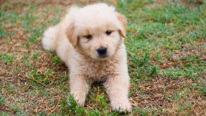 What Are Some Puppies That Are Golden?