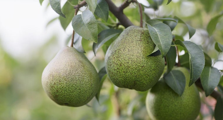 How Do You Prune a Pear Tree?