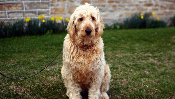 What Are the Characteristics of a Goldendoodle?