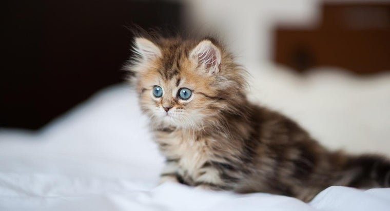 What Are Some of the Characteristics of Long-Haired Persian Kittens?
