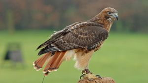 How Do Red-Tailed Hawks Build Their Nests?