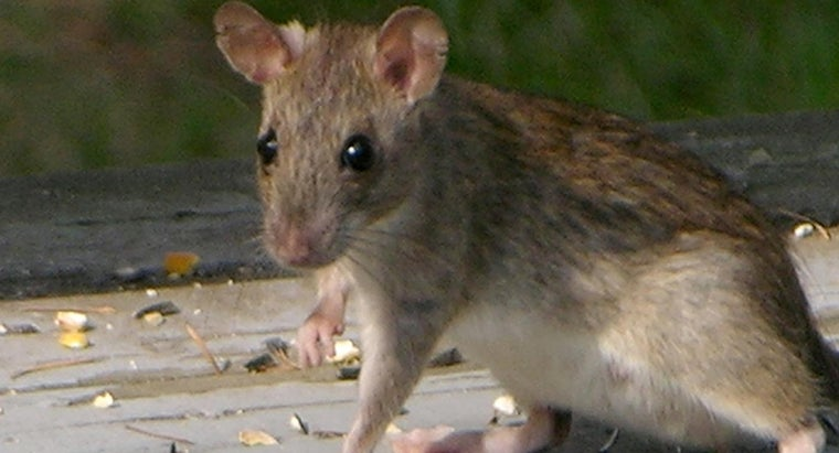How Do You Get Rid of Roof Rats?