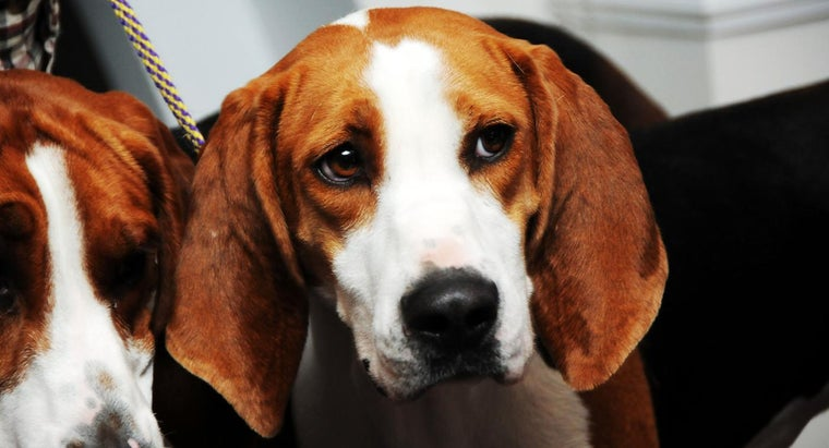 What Size and Weight Are English Coonhounds?