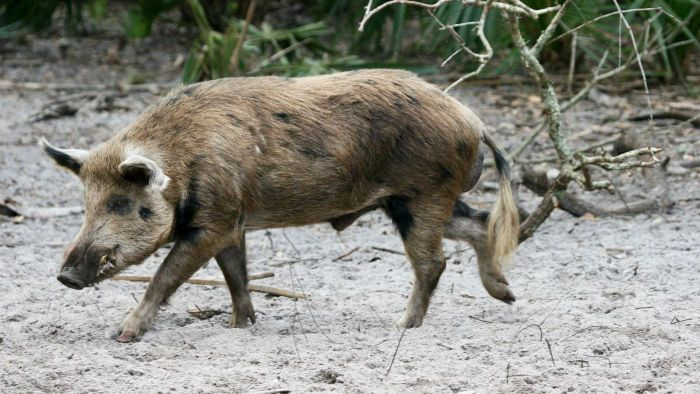 What Are Some Good Methods for Trapping Feral Hogs?