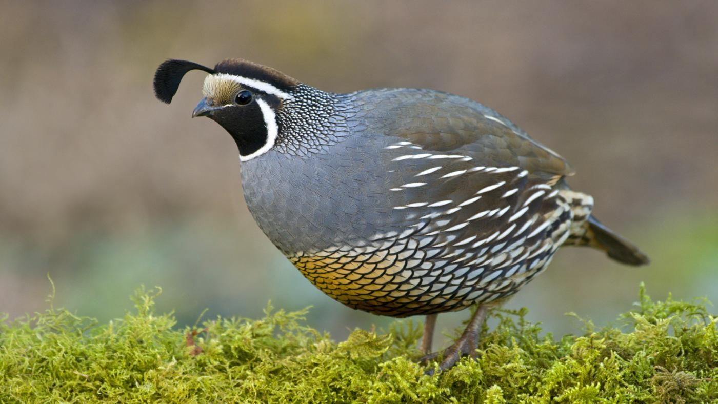 quail california animals letter beginning names start quails meaning reference barrett espm study guide wildlife