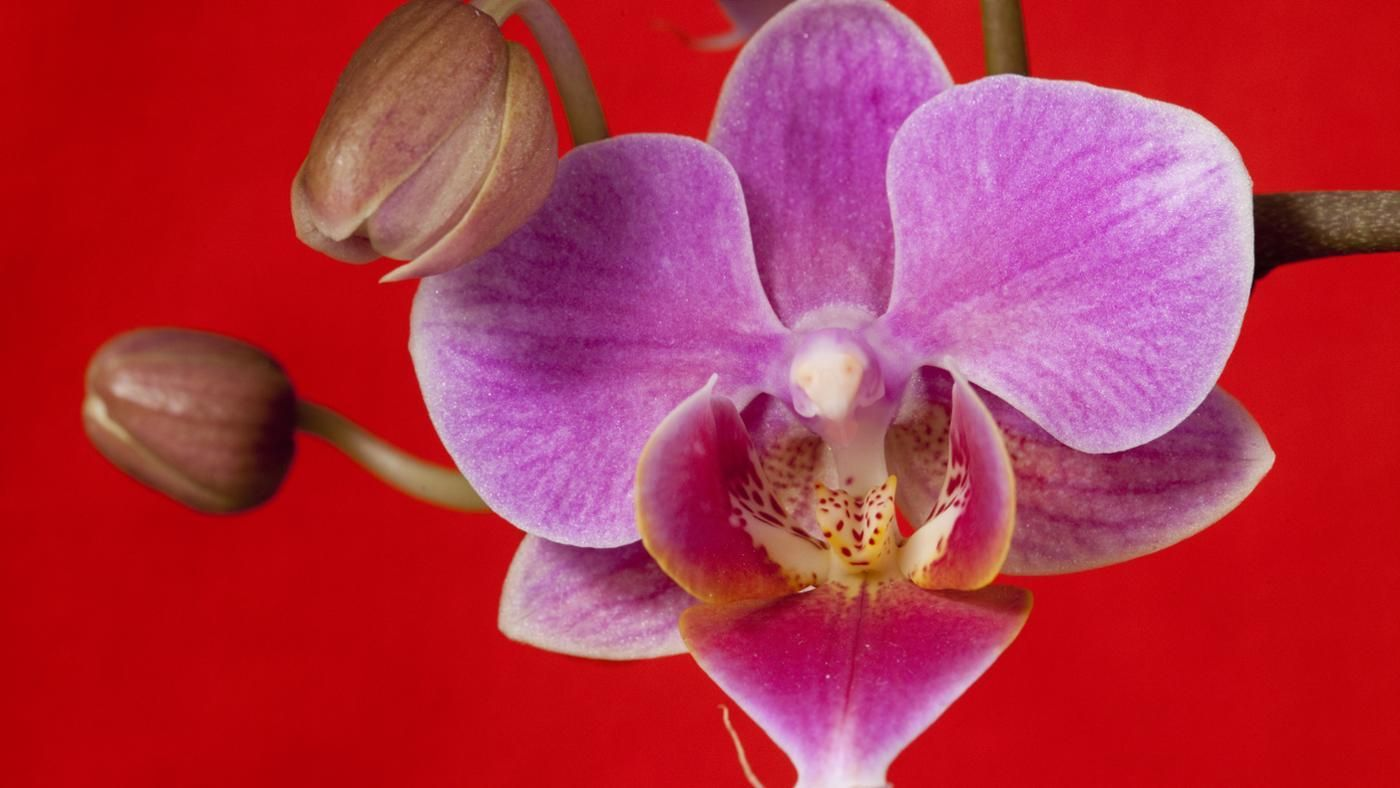 Are Orchids Poisonous To Cats Or Dogs