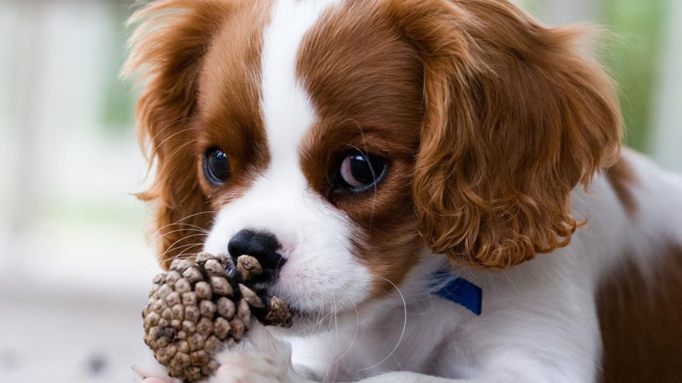 Can Dogs Eat Pine Cones