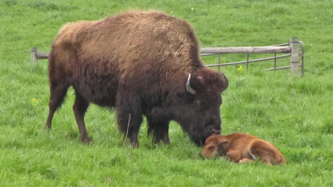 what is a baby bison called