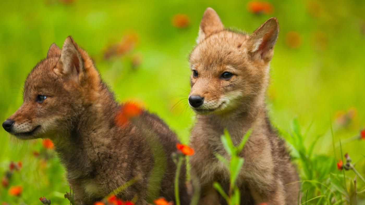 What Is A Baby Coyote Called Reference Com