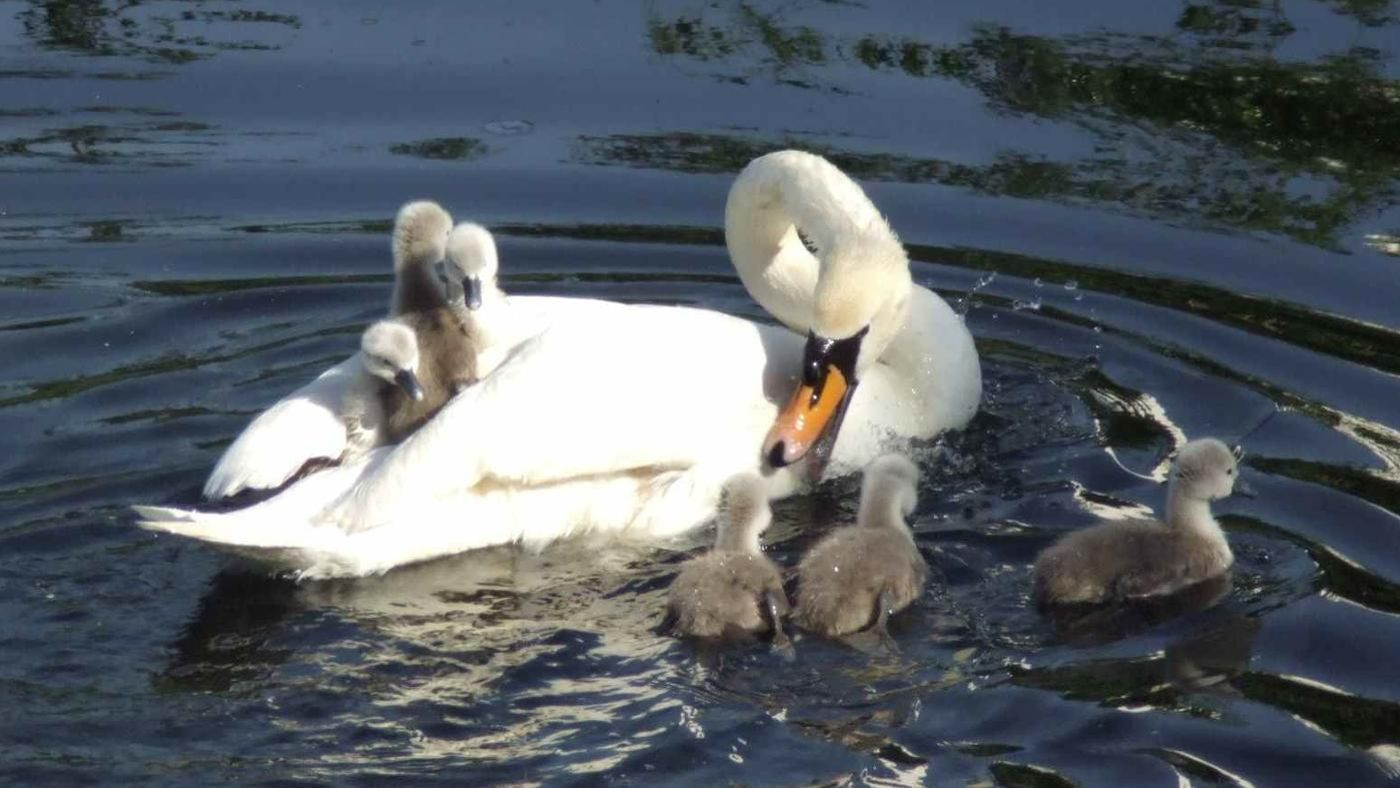 What Is A Baby Swan Called Reference Com