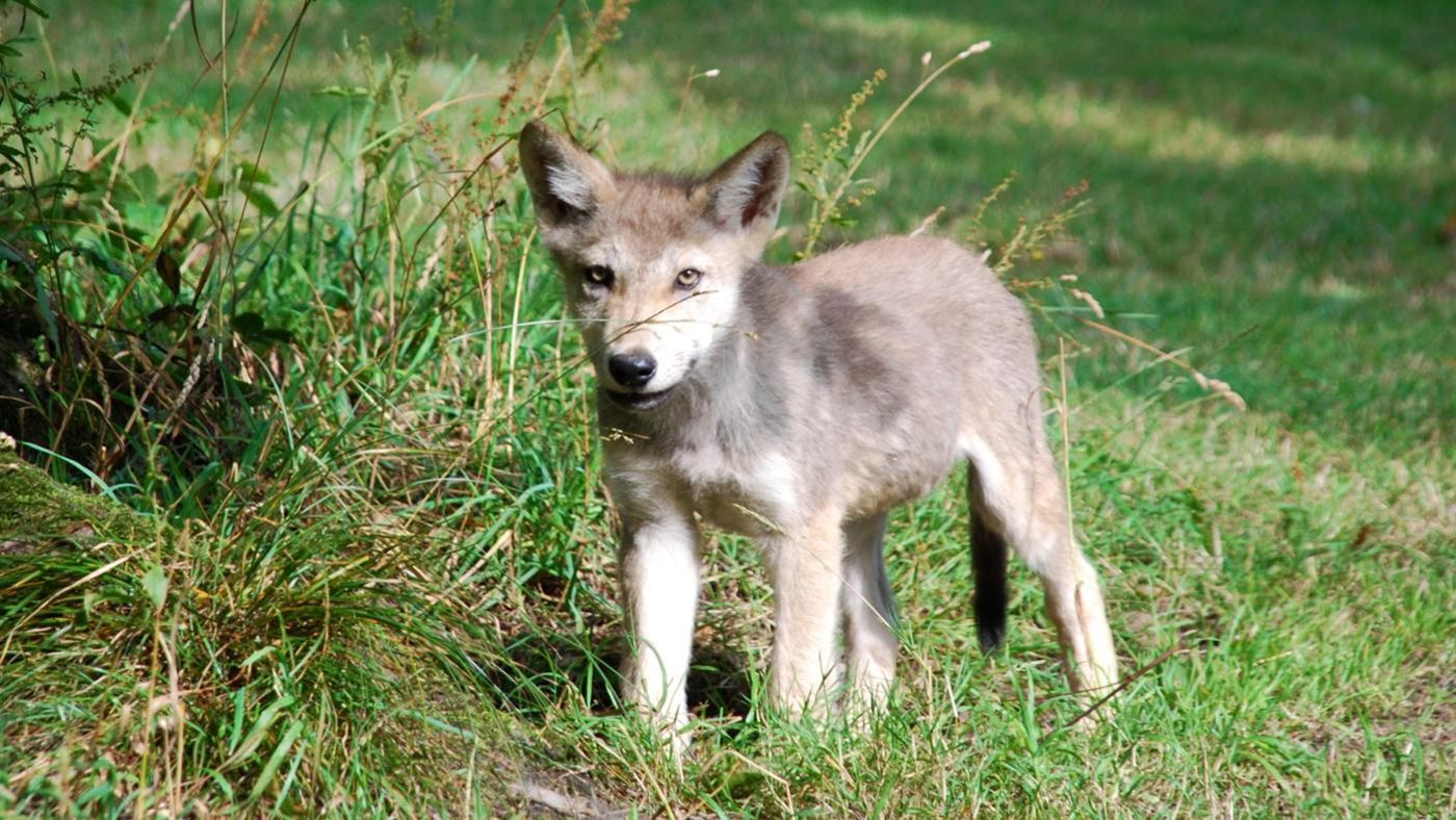 What Are Baby Wolves Called? | Reference.com