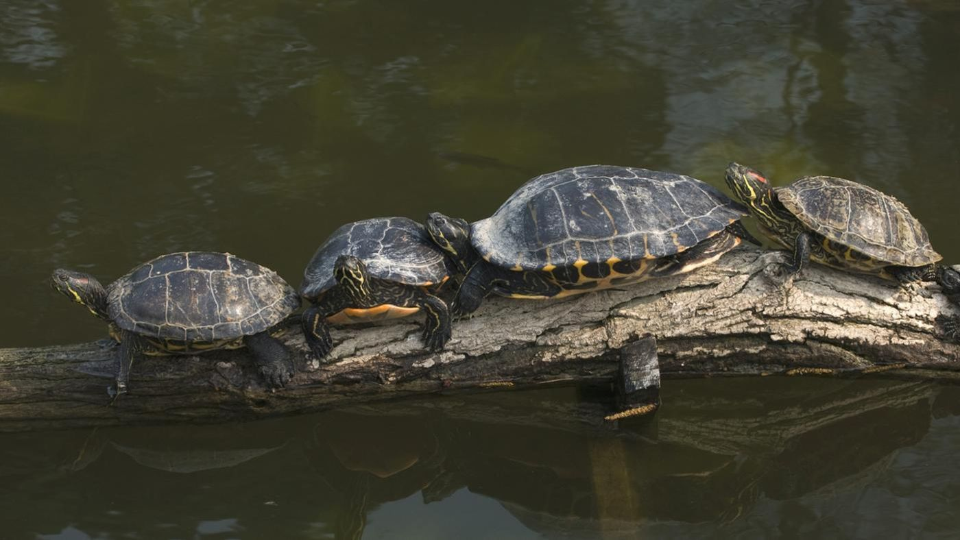 How Big Do YellowBellied Turtles Get  Referencecom