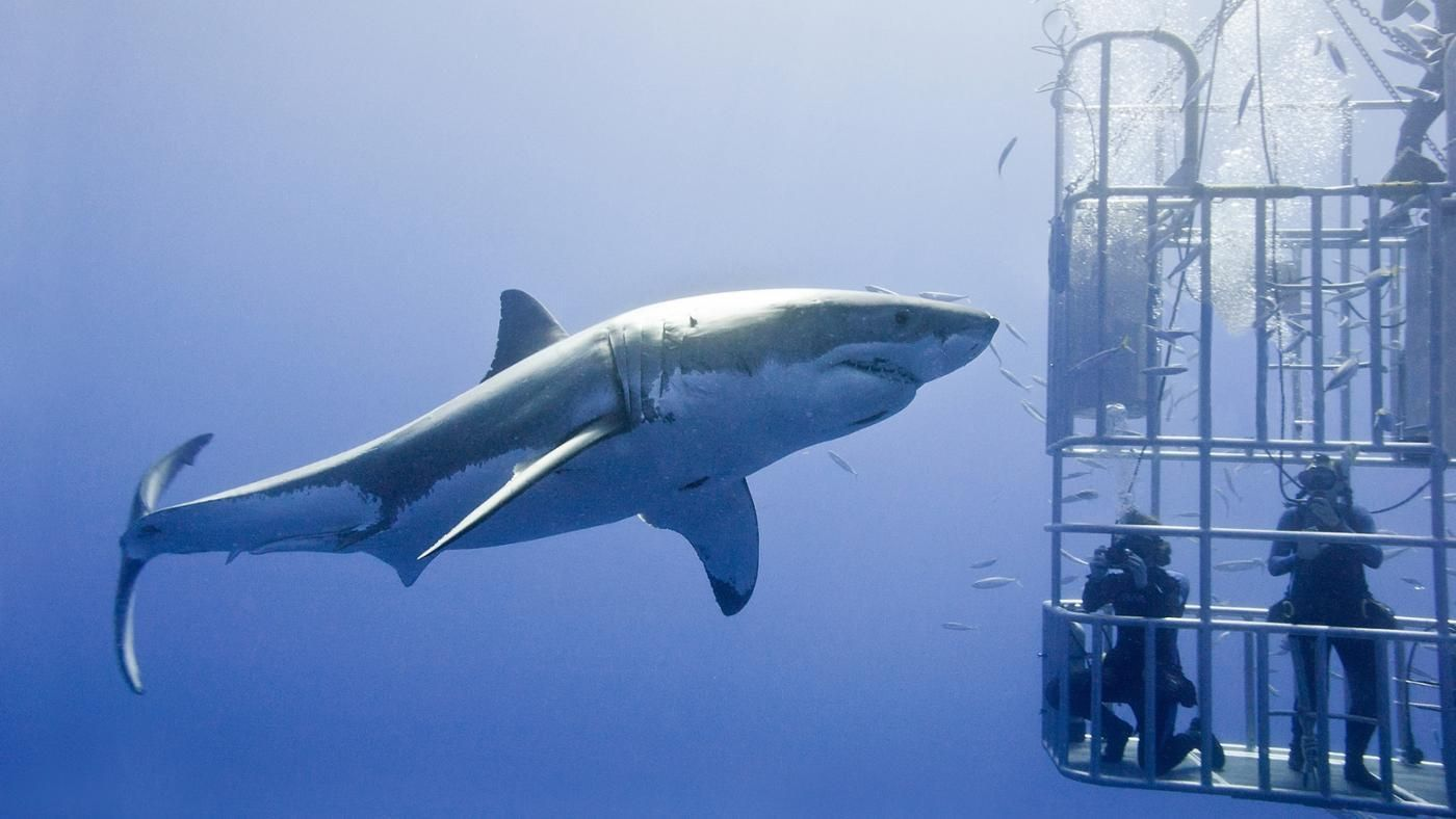 Biggest Great White Shark Ever Seen Average Size Of Orca