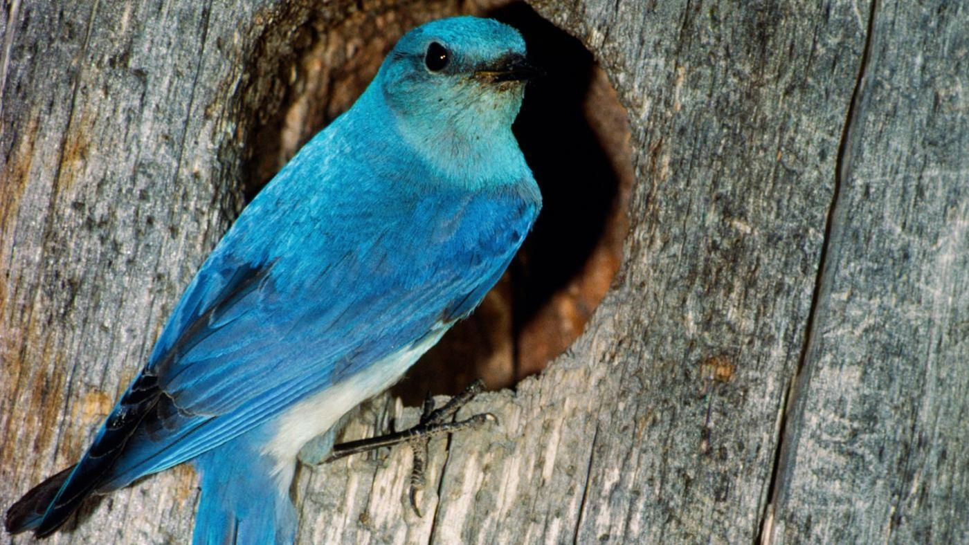 What does a bluebird symbolize reference biocorpaavc