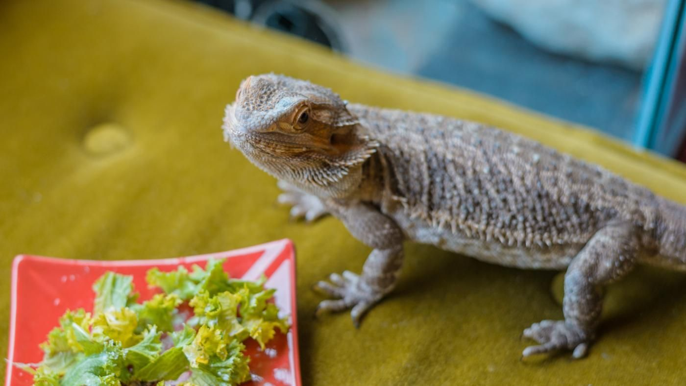 What Food Do Bearded Dragons Eat