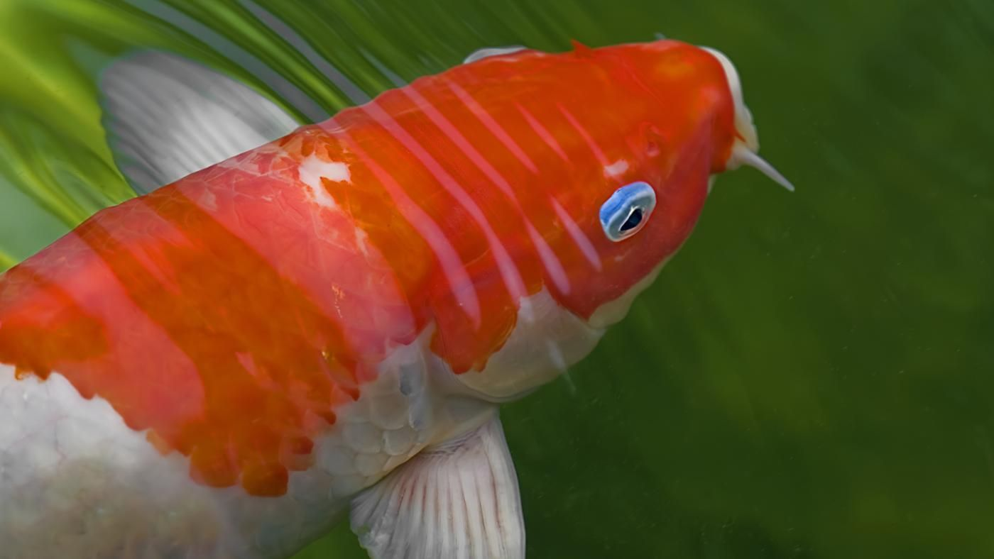 Can you keep koi in a fish tank for Fish tank riddle
