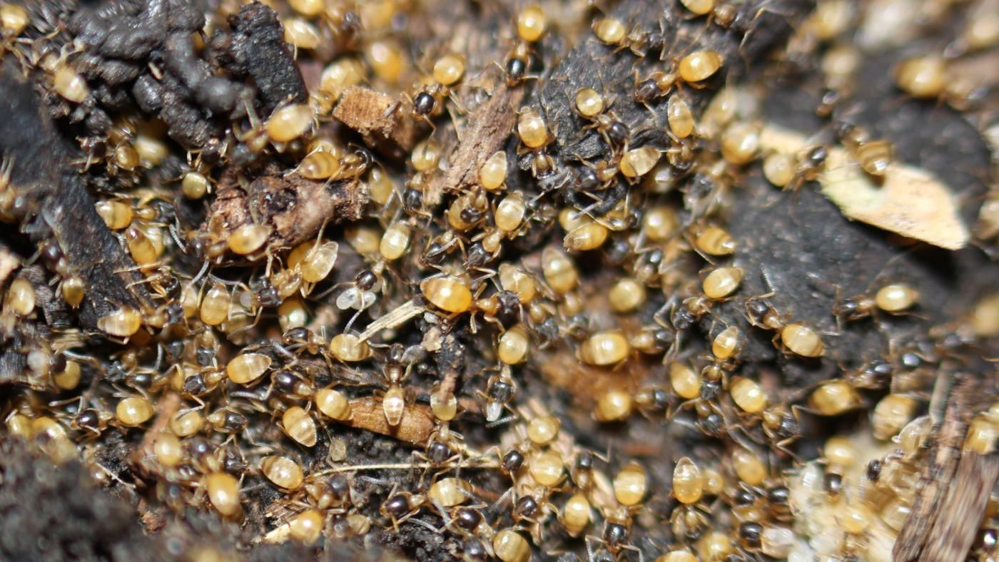 how can you kill ghost ants. Black Bedroom Furniture Sets. Home Design Ideas