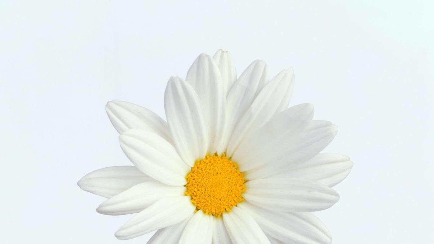 What is the center of a daisy called reference izmirmasajfo Gallery
