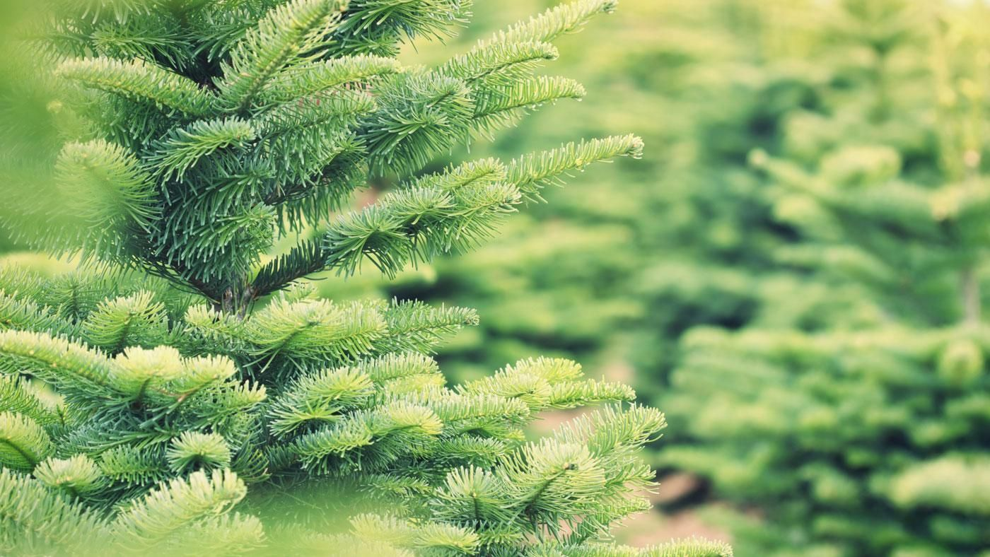 How Many Christmas Trees Are Sold Each Year Reference Com