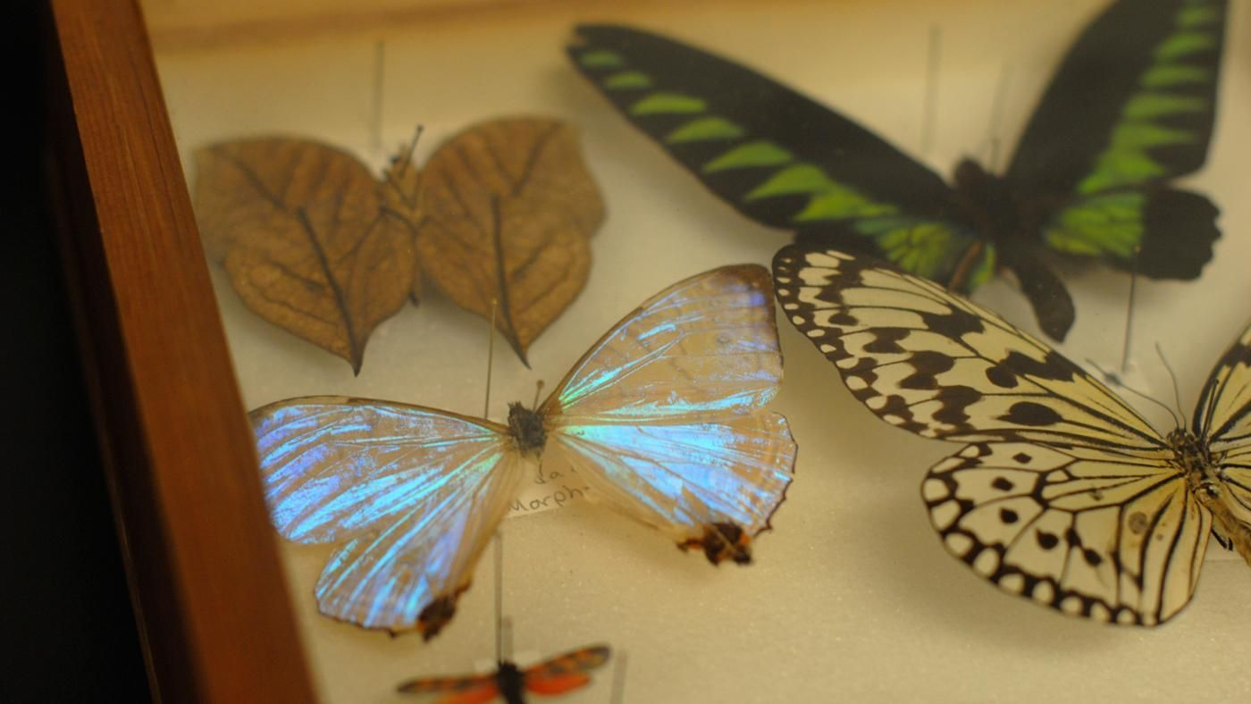 How Are Dead Butterflies Preserved? | Reference.com