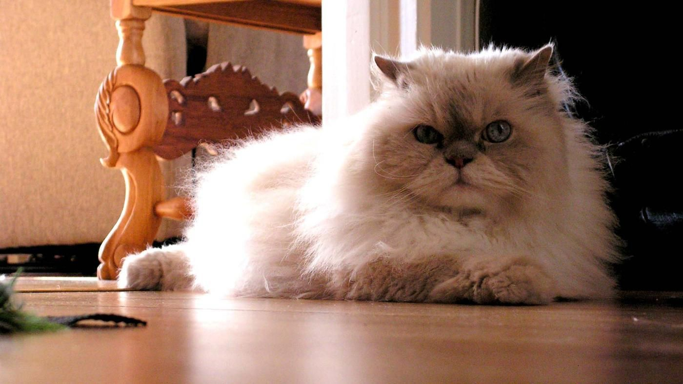 What Is the Difference Between a Himalayan Cat and a ...