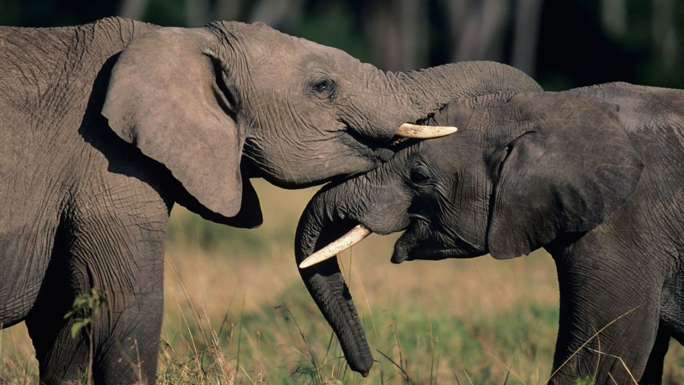 What do elephants symbolize reference biocorpaavc Image collections