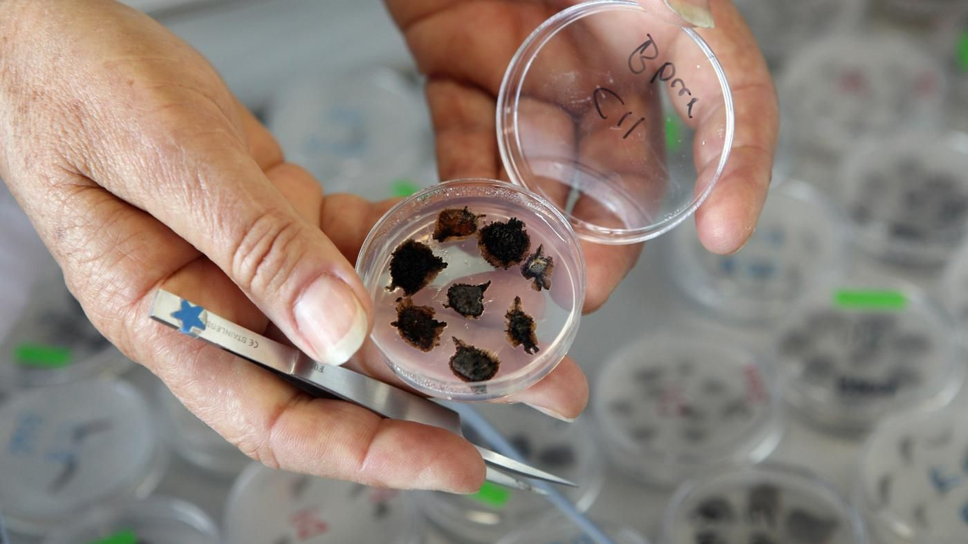 an analysis of the process of germination Tetrazolium test for seed viability germination percentage is a good measure of seed quality one disadvantage of conventional germination tests is that they require.