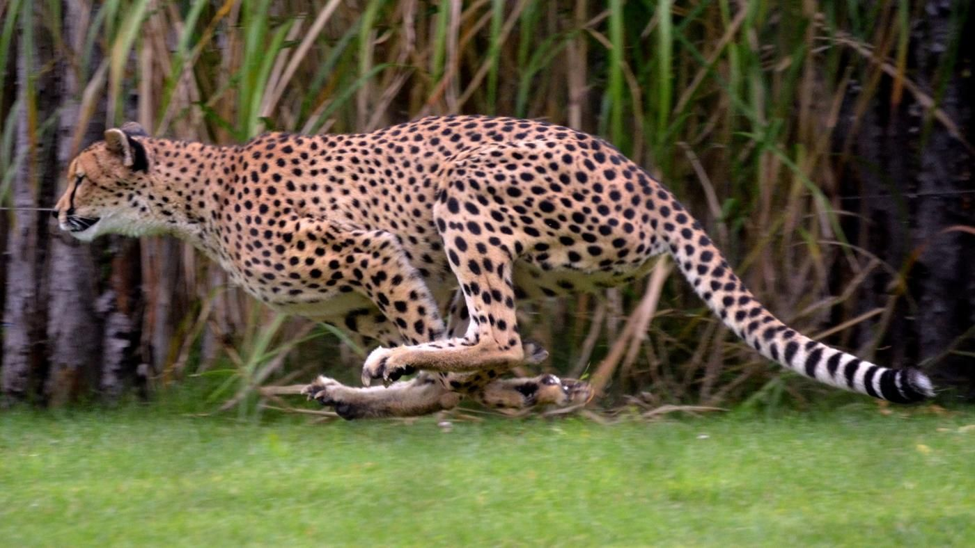 How Fast Does A Jaguar Run Reference Com
