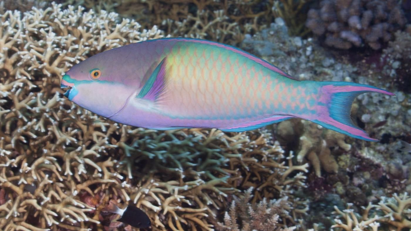 What fish eat parrotfish for What fish eat