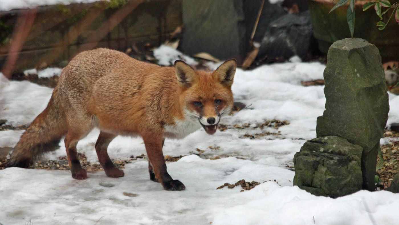 What Eats Foxes In The Food Chain