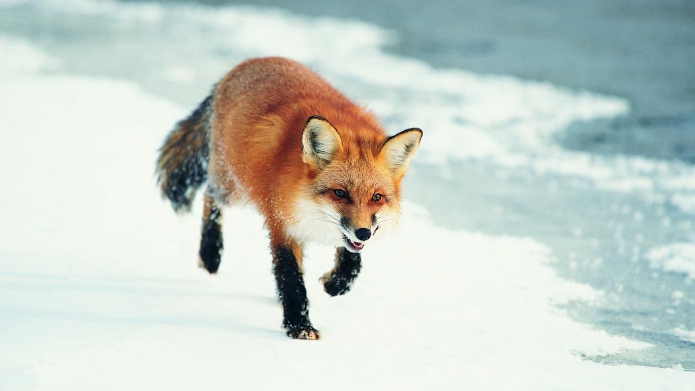 Do Foxes Make Food Pets