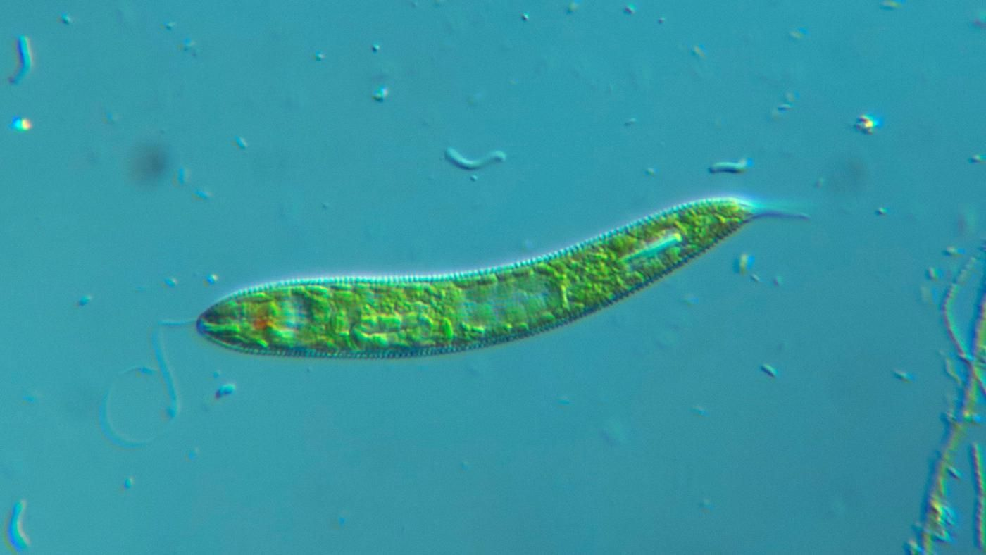 What Is The Function Of The Eyespot Of Euglena