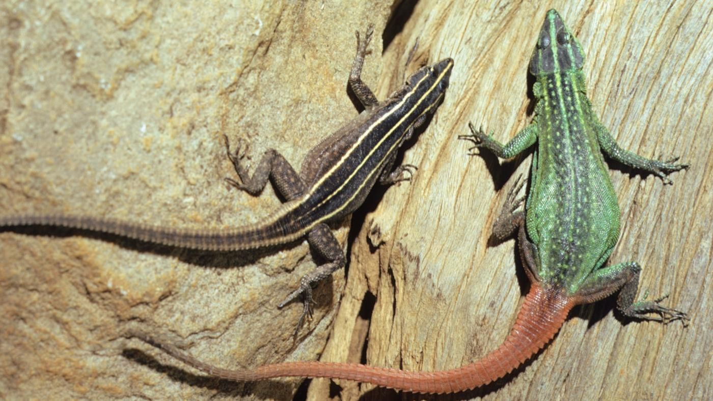 What Food Do Long Tailed Lizards Eat