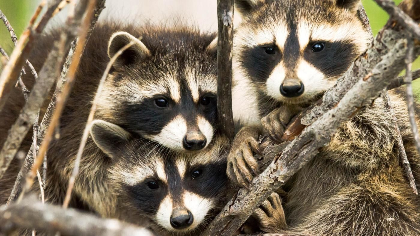 What is a group of raccoons called How to keep raccoons out of garden