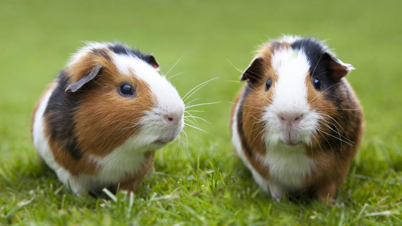 How Do You Tell Difference Between Female and Male Guinea Pigs ...