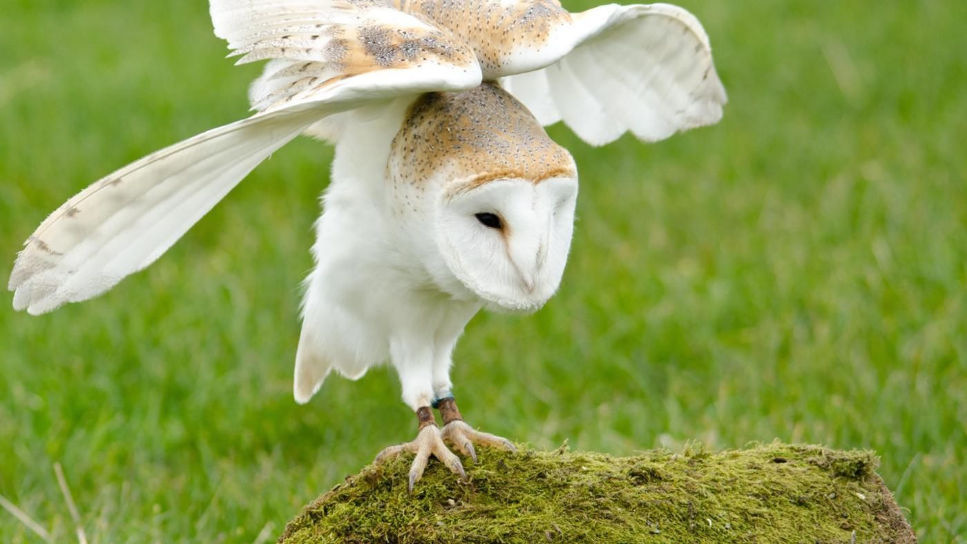 How long do barn owls live reference buycottarizona