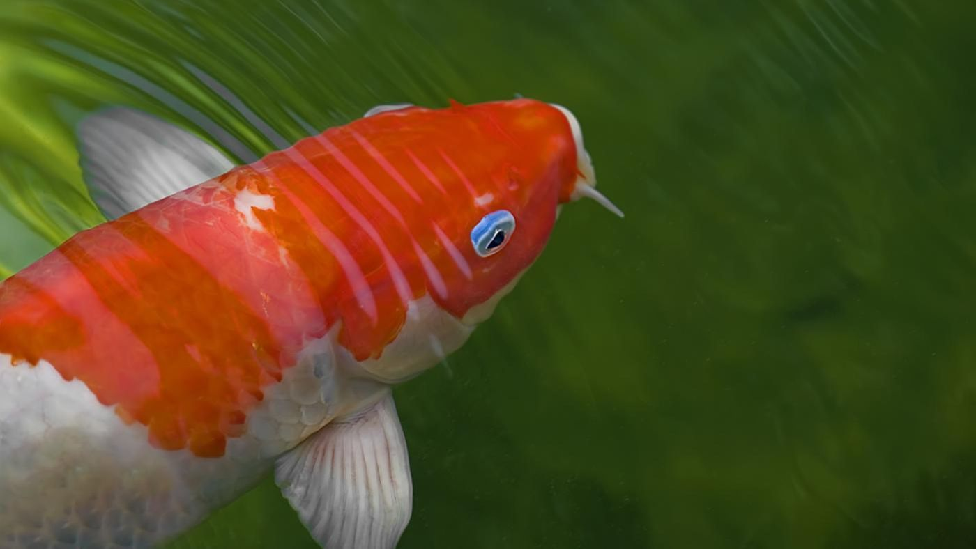 How long do koi live for How much is a koi fish
