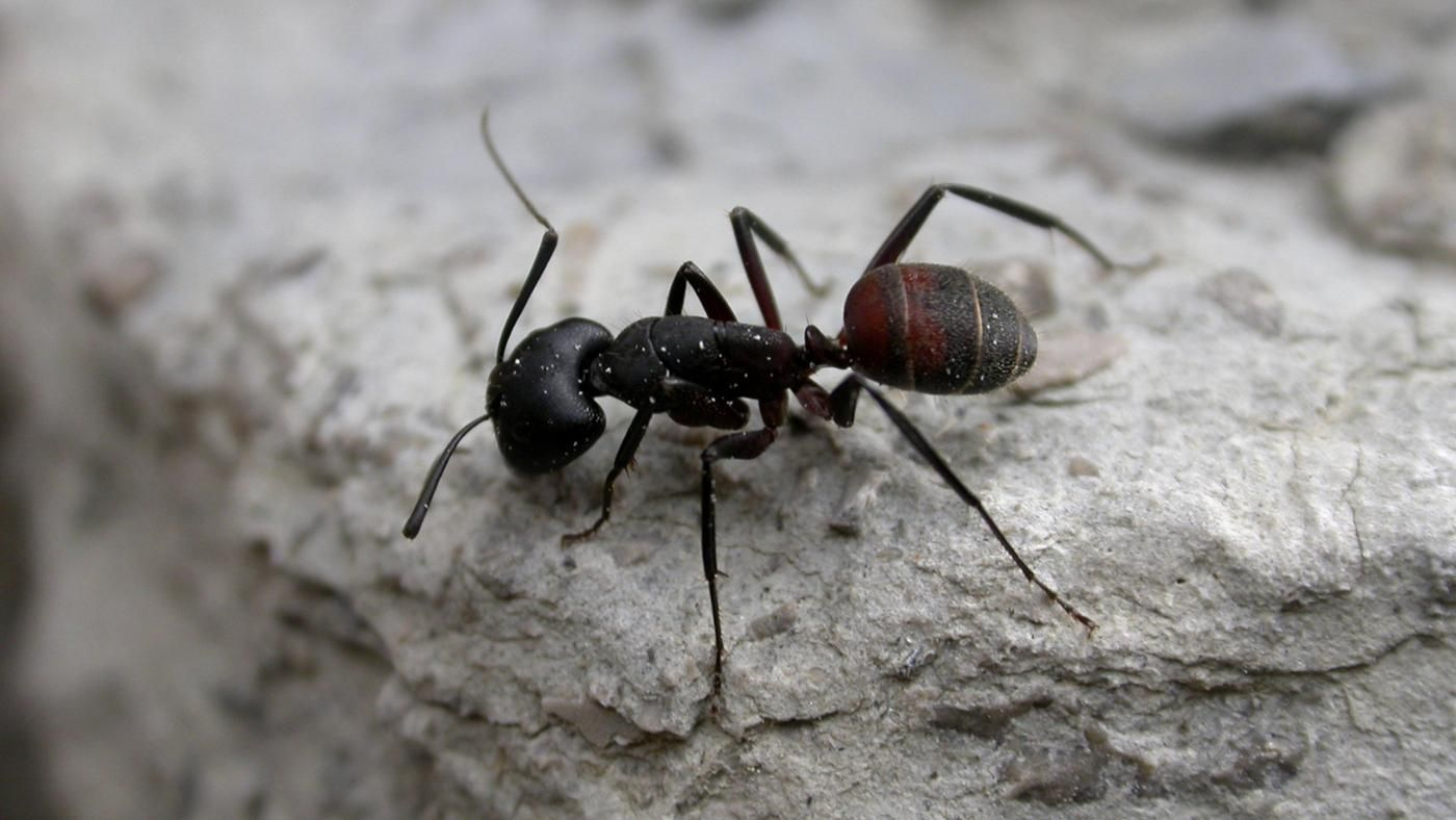 How many legs does ants have