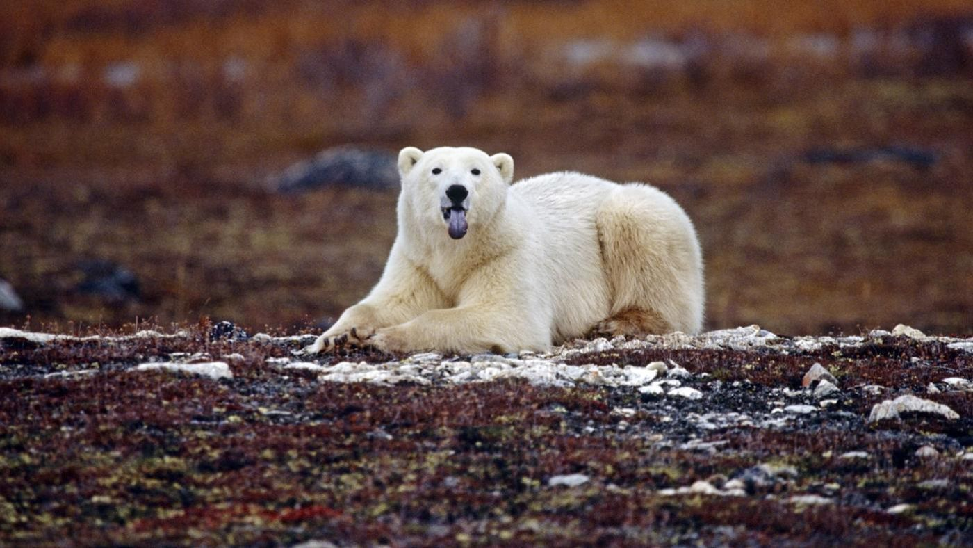 What Kinds of Animals Live in the Tundra?