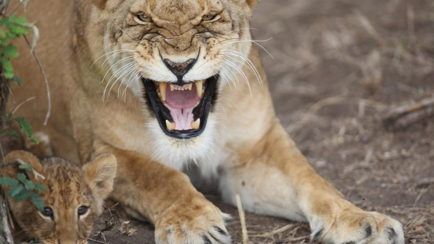 how do lions protect themselves