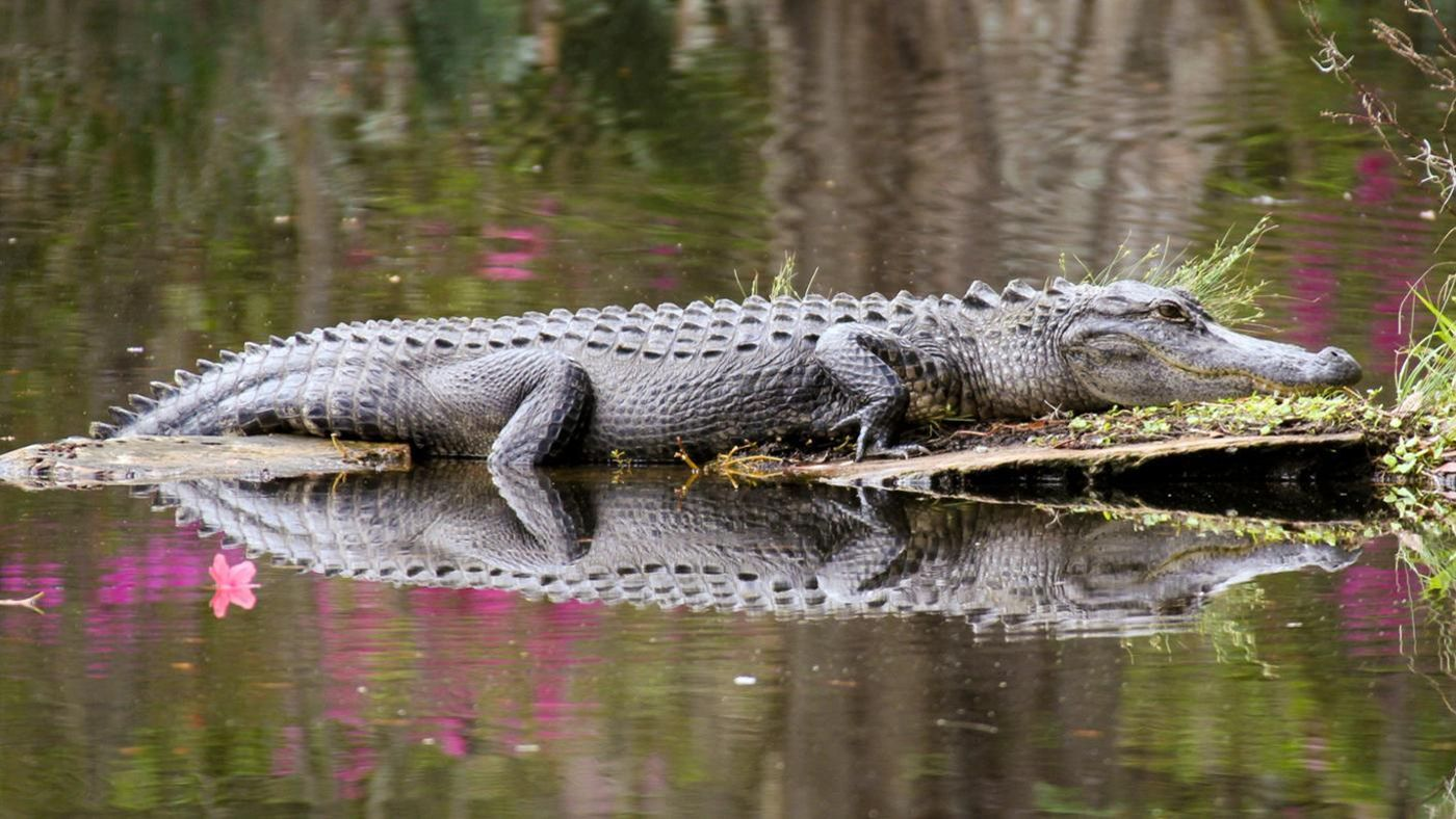 How Long Can An Alligator Stay Underwater?
