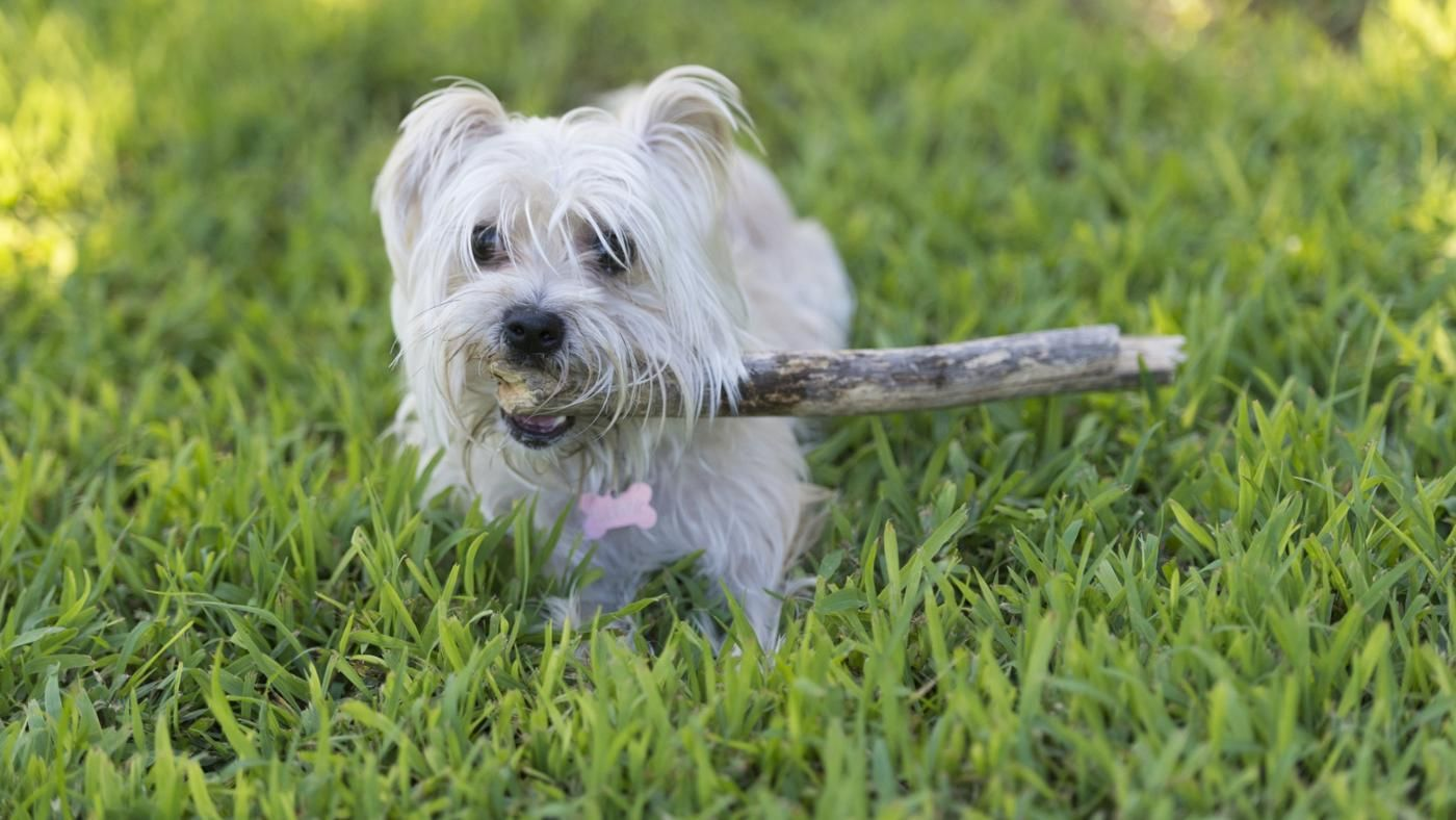 How Long Does It Take Morkie Puppies to Become Full Grown ...