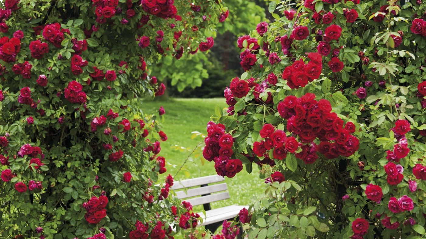 Roses In Garden: How Do You Make A Natural Fungicide For Rose Bushes