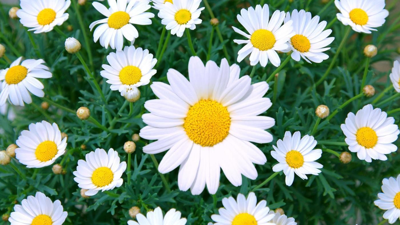 What is the meaning behind daisy flowers reference izmirmasajfo