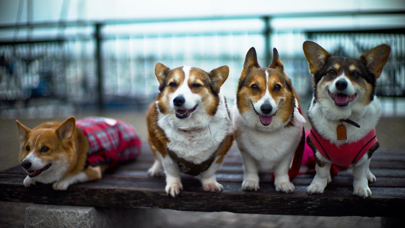 How Much Does a Corgi Cost?   Reference.com