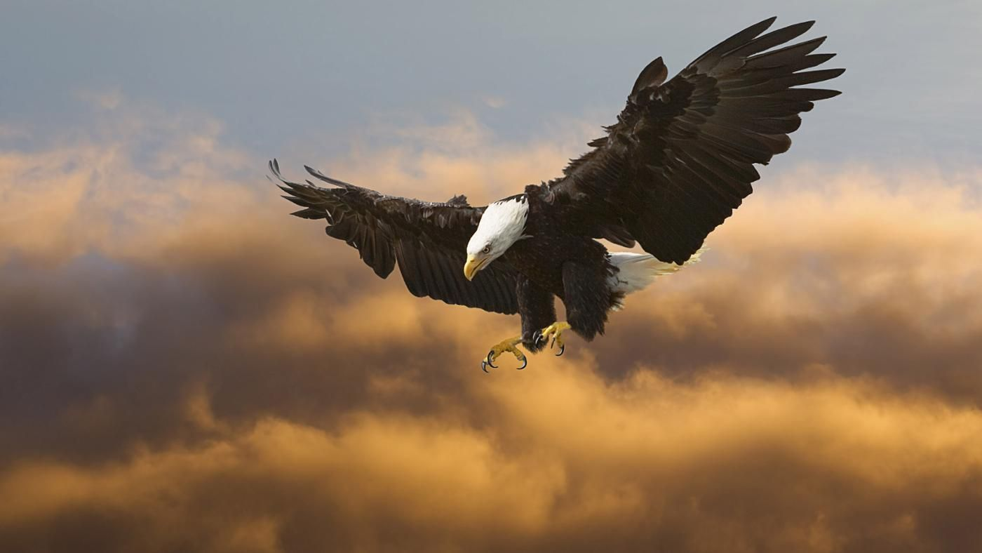 Why does the bald eagle represent america reference biocorpaavc Choice Image
