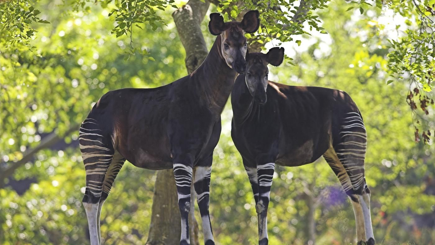 Where Do Okapis Live? | Reference.com