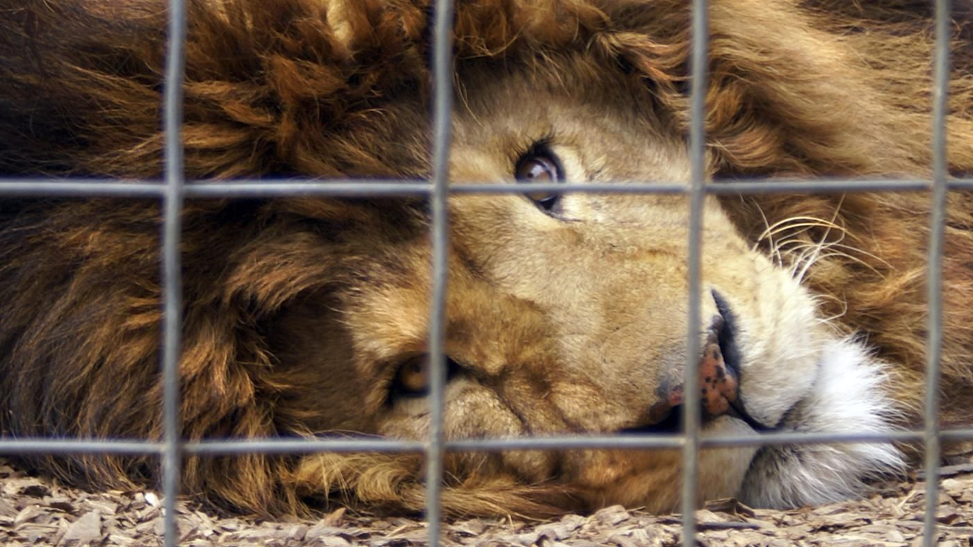 essays on animals in captivity Nowodays a lot of animals live in zoos is it right or wrong to keep them in the zoos the following essay presents some pros and cons of this problem first.